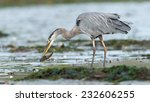 Great Blue Heron (Ardea herodias) adult with freshly caught fish in beak. Vancouver Island, British Columbia, Canada, North America. - stock photo
