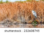 White-necked Heron (Ardea cocoi) standing at the border of a swamp among reeds and other unidentified vegetation. Patagonia, Argentina, South America. - stock photo