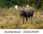 Bull Western Moose portrait (Alces alces andersoni). Alberta, Canada, North America. - stock photo