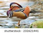 Beautiful Male Duck  Mandarin...