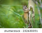 Eastern Chipmunk Squirrel ...
