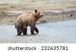 Grizzly Bear (Ursus arctos horribilis) foraging in river. British Columbia, Canada, North America. - stock photo