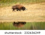 American bison (Bison bison) reflected on the water. Walking uphill. Alberta, Canada, North America. - stock photo