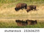 American Bison (Bison bison) couple reflected on the water while feeding at the border of a lake. Alberta, Canada, North America - stock photo