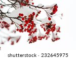 clusters of red rowan berry... | Shutterstock . vector #232645975