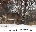 Profile Of White Tailed Deer...