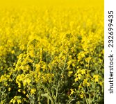 Golden flowers of the canola plant before harvest - stock photo