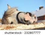 cute gray shetland pony...   Shutterstock . vector #232807777