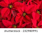 Closeup Of Red Poinsettia...