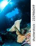 Small photo of Sponge Ianthella and sea fan Acabaria in Banda, Indonesia underwater photo. There is diver swimming above the reefs.