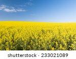 Golden flowering canola field under a blue sky before harvest - stock photo