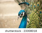 Beautiful Color Peacock With...