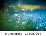 White Daisies On Blue Background