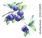 watercolor fruit plum branch  | Shutterstock . vector #233123005