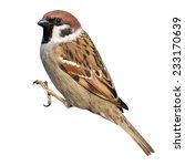 Tree Sparrow  Passer Montanus ...