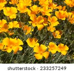 Brilliant Buttercup Yellow...
