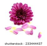 Chrysanthemum Daisy Flower And...