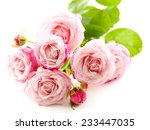 beautiful pink roses isolated... | Shutterstock . vector #233447035