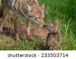 Coyote  Canis Latrans  Nose...