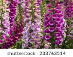 Colorful Foxglove Flowers
