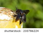 Carpenter Bee  Xylocopa...