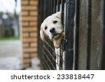 young labrador retriever puppy | Shutterstock . vector #233818447