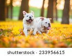 Stock photo two english bulldog puppies running in the park in autumn 233956615