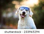 Stock photo beautiful labrador retriever wearing the sun glasses close up background 233965294