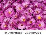 bright magenta chrysanthemum... | Shutterstock . vector #233989291