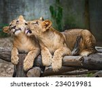 Stock photo two young lion cubs around month old cub playing together 234019981