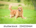 Stock photo golden retriever running on the lawn 234233464