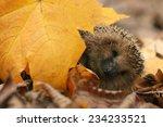 Hedgehog Autumn Leaves Forest