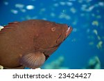 Small photo of Redmouth grouper (Aethaloperca rogaa) taken in the red sea.