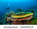 Small photo of Diver and various hard coral reefs in Banda, Indonesia underwater photo. There are bunch of plate hard coral Acropora hyacinthus.