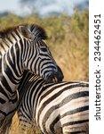close up of a zebra  equus...   Shutterstock . vector #234462451