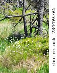 Small photo of typical Harz mountain forest with grass and cottongrass