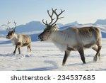 Reindeers In Natural...