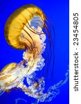 This image shows a Sea  Nettle jellyfish (Chrysaora fuscescen) - stock photo