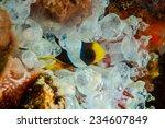 clownfish hiding inside the... | Shutterstock . vector #234607849