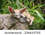 Fennec Fox Lying On The Rock