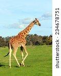 Giraffe Walking On A Grass In ...