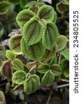 Small photo of Tropical member of the Coleus Family