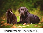 Stock photo brown dog and cat outdoors together 234850747