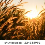 The Tall Grass In The Rays Of...