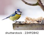 Blue Tit In Bird Table