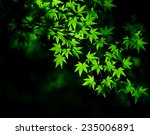 Young Green Maple Tree Leaves...