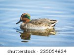 Teal Duck Swimming
