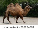 Bactrian Camel  Camelus...
