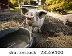 A Curious Pig At A Watering Bowl