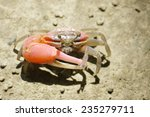 A Red Fiddler Crab